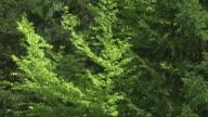 HD: Trees in wind video