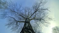 HD TIME-LAPSE: Treetop Of A Birch Tree video