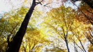 Treetops in autumn colors video