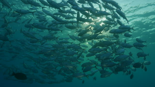 Trevally Jackfish schooling under sea surface, Indonesia (4K) video
