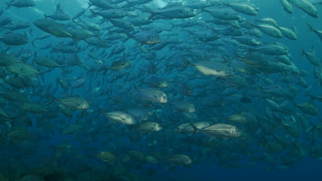 Trevally Jackfish, swimming, under sea surface, Bali, Indonesia (4K) video