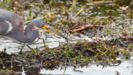 Tri colored heron stalking at the Everglades video
