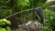Tricolor Heron with Young video