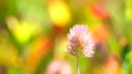 Trifolium arvense flower 4K video