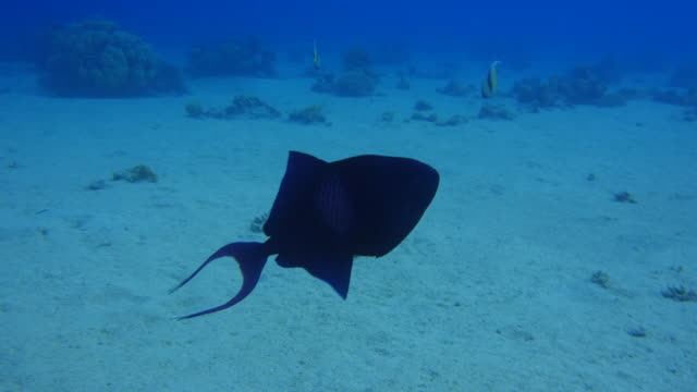 Triggerfish video