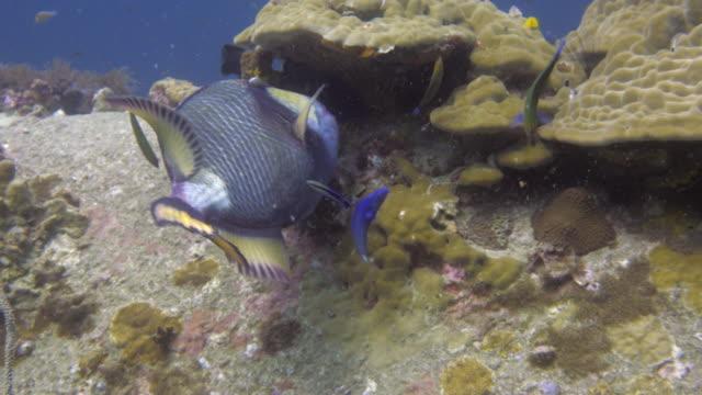 Triggerfish video
