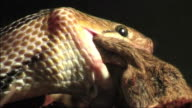 Trinket snake hunts mouse video