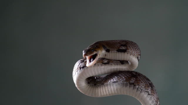 trinket snake video