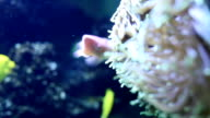 Tropical Anemone video