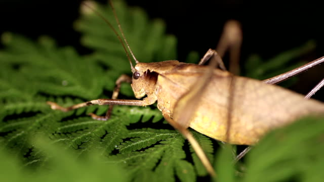 tropical brown grasshopper Mecopoda elongata night close-up video