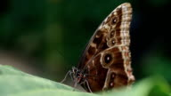 Tropical butterfly (morpho) stretching its proboscis video