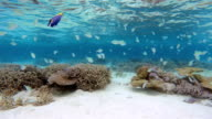 Tropical coral reef with Schools of Fish video