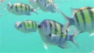 Tropical fish over reef in Thailand video