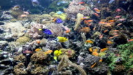 tropical fish swimming on coral reef video