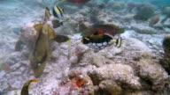 Tropical fishes feeding on coral reef - Maldives video