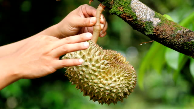 Tropical fruit with human hand. video