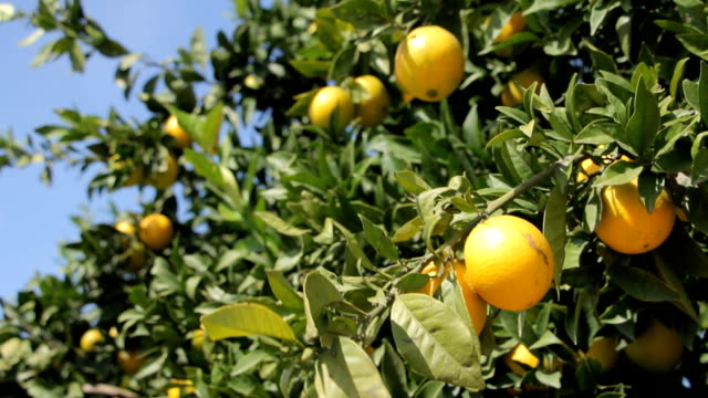 Tropical garden, lemon trees video