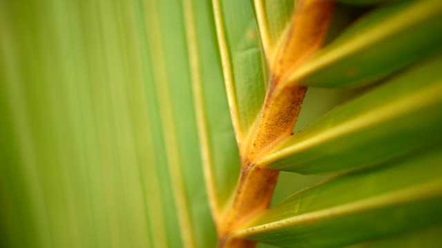 Tropical green palm leaf in macro blowing in the wind video
