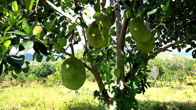 Tropical Jackfruit from Vietnam video