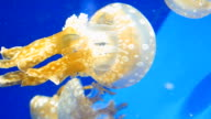 Tropical Jellyfish in blue water of aquarium video