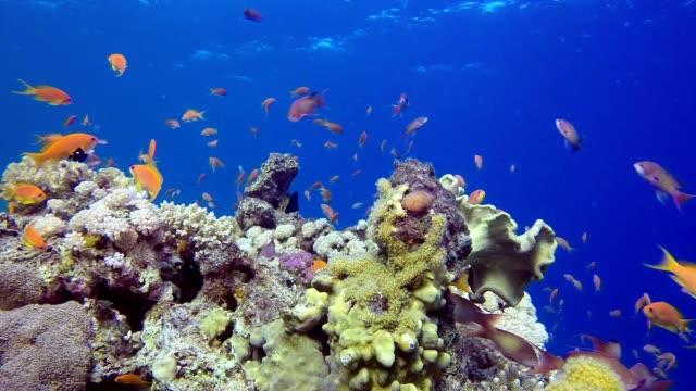 Tropical Marine Life Lion-Fish video