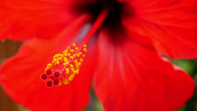 Tropical red hibiscus flower in tree. video