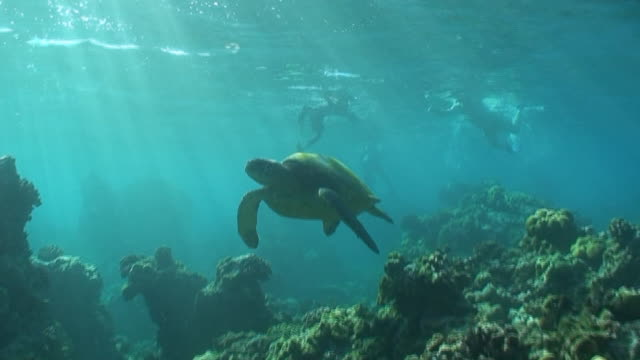 Tropical Sea Turtle High Definition (HD) saved highest quality. video