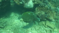 Tropical Sea Turtle in High Definition (HD) saved highest quality. video