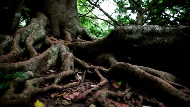 Tropical tree roots video