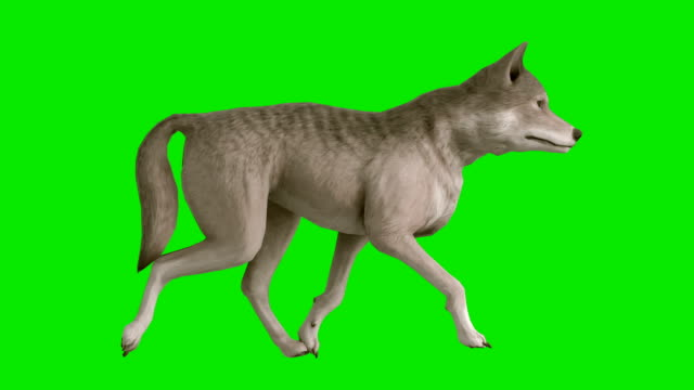 Trotting Wolf Green Screen (Loopable) video