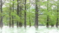 Trunks closeup cypress swamp, growing out of the water video