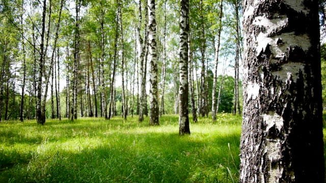 Trunks of birch trees in summertime video
