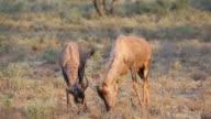 Tsessebe antelopes grazing video