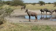 Tsessebe at a waterhole video