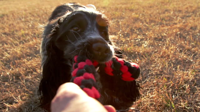 Tug of war with my dog video