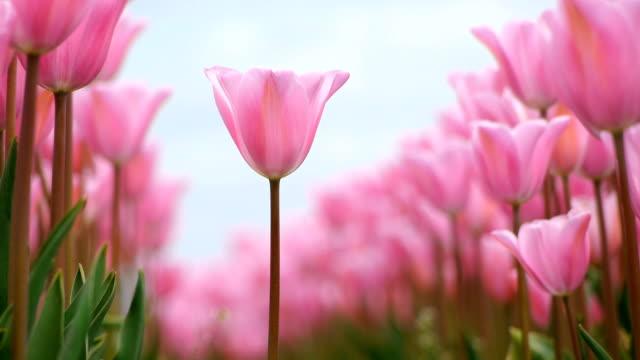Tulip between rows video