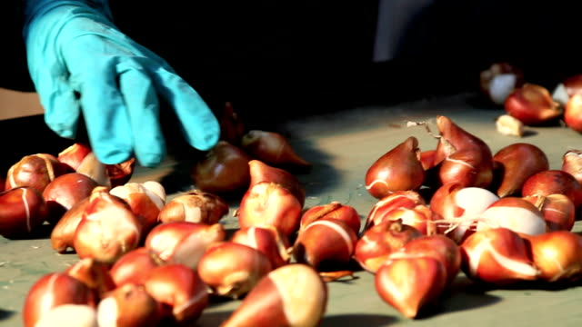 tulip bulb hand selection video
