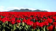 Tulip Field video