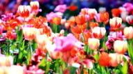 Tulip Field video