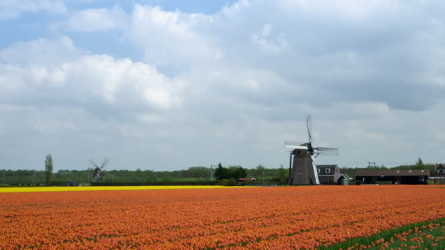 Tulip fields and windmills time lapse video