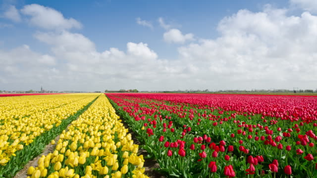 Tulip fields in Holland time lapse video