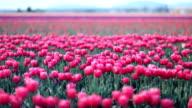 Tulip Fields video