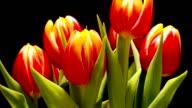 Tulip Flower Time-lapse video