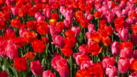 Tulip Flowerbed In Spring video