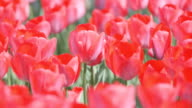 Tulip Flowers,at Showa Memorial Park,Tokyo,Japan video