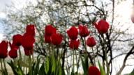 Tulip red flower video