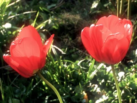 NTSC: Tulip video