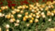 tulip,flower video