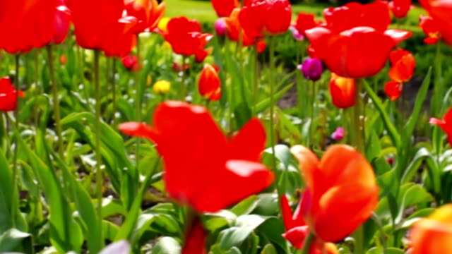 Tulips in city park video