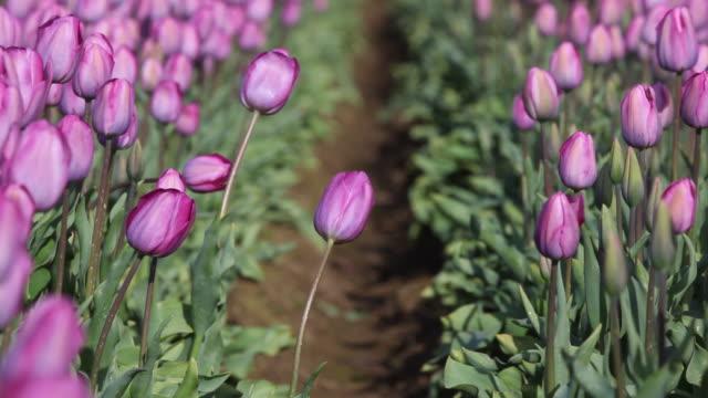 HD tulips in field video